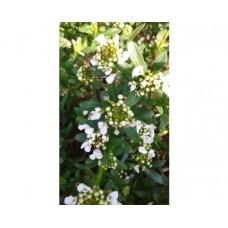Ubiorek wiecznie zielony (Iberis sempervirens) Fishbeck