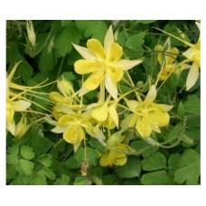 Orlik błękitny (Aquilegia caerulea) Spring Magic Yellow