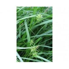 Turzyca Graya (Carex grayi)
