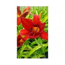 Liliowiec ogrodowy (Hemerocallis hybrida) Campfire Embers