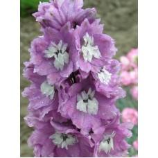 Ostróżka (Delphinium) Magic Fountain Deep Rose White Bee