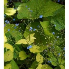 Brunnera wielkolistna (Brunnera macrophylla) Diane's Gold