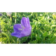 Dzwonek karpacki (Campanula carpatica) Perla Blue