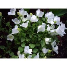 Dzwonek karpacki (Campanula carpatica) Perla White