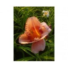 Liliowiec ogrodowy (Hemerocallis hybrida) Strawberry Candy