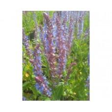 Szałwia omszona (Salvia nemorosa) Ostfriesland