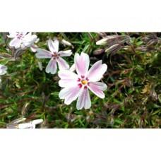 Płomyk szydlasty (Phlox subulata) Candy Stripe