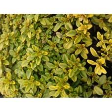 Macierzanka cytrynowa (Thymus x citriodorus) Aureus