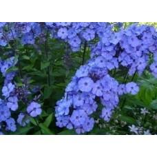 Płomyk/Floks wiechowaty (Phlox paniculata) Blue Paradise