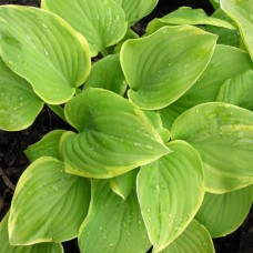 Funkia (Hosta hybrida) Fragrant Bouquet