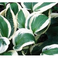 Funkia (Hosta hybrida) Patriot