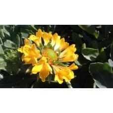 Gailardia wielkokwiatowa (Gailardia x grandiflora) Moxie