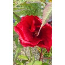 Hibiskus bylinowy (Hibiscus x moscheutos) Fireball