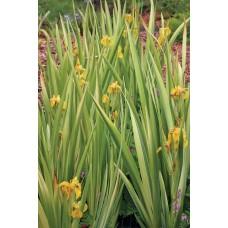 Kosaciec żółty (Iris pseudacorus) Variegata