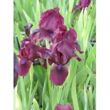 Kosaciec niski (Iris pumila) Cherry Garden