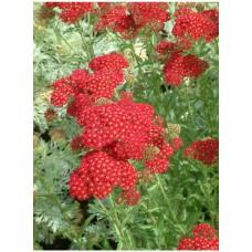 Krwawnik pospolity (Achillea millefolium) Red Velvet