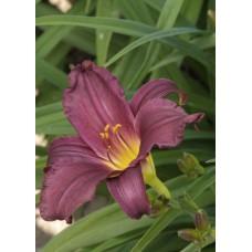 Liliowiec ogrodowy (Hemerocallis hybrida) Purple Rain