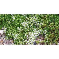 Macierzanka wczesna (Thymus praecox) Albiflorus