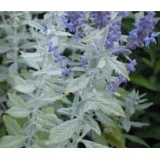 Perowskia łobodolistna (Perovskia atriplicifolia) Silvery Blue