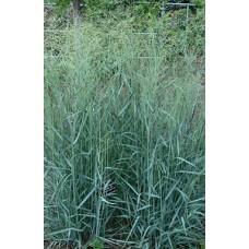 Proso rózgowate (Panicum virgatum) Prairie Sky
