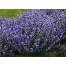 Kocimiętka (Nepeta x faassenii) Purrsian Blue