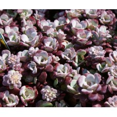 Rozchodnik łopatkowaty (Sedum spathulifolium) Purpureum