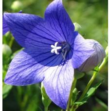 Rozwar wielkokwiatowy (Platycodon grandiflorus) Astra Blue