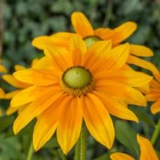 Rudbekia (Rudbeckia) Sophia Yellow