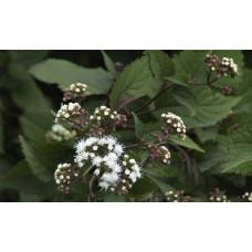 Sadziec pomarszczony (Eupatorium rugosum) Chocolate