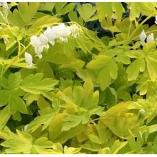Serduszka okazała (Dicentra spectabilis) White Gold
