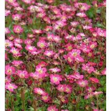 Skalnica Arendsa (Saxifraga x arendsii) Marto Rose