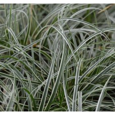 Turzyca stożkowata (Carex conica) Snowline