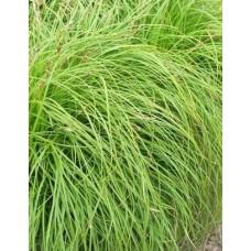 Turzyca wiosenna (Carex caryophyllea) The Beatles