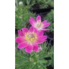 Zawilec wielosieczny (Anemone multifida) Annabella Deep Rose