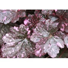 Żurawka (Heuchera hybrida) Midnight Rose Select