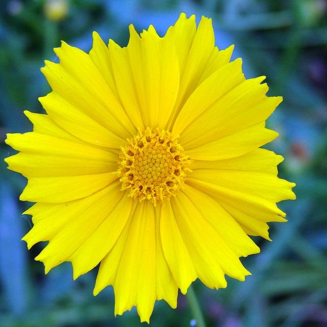 żółty nachyłek
