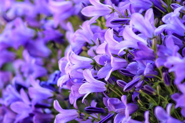 dzwonek liliowy