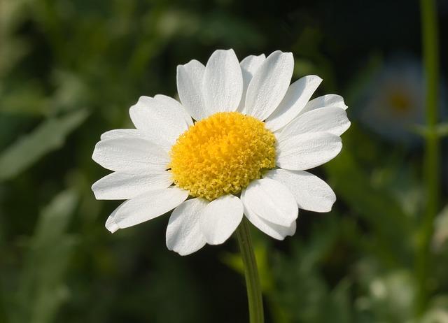 Biały jastrun