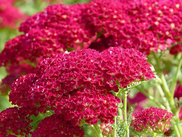 czerwone kwiaty krwawnika