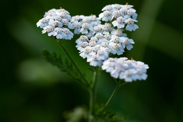 białe kwiaty krwawnika