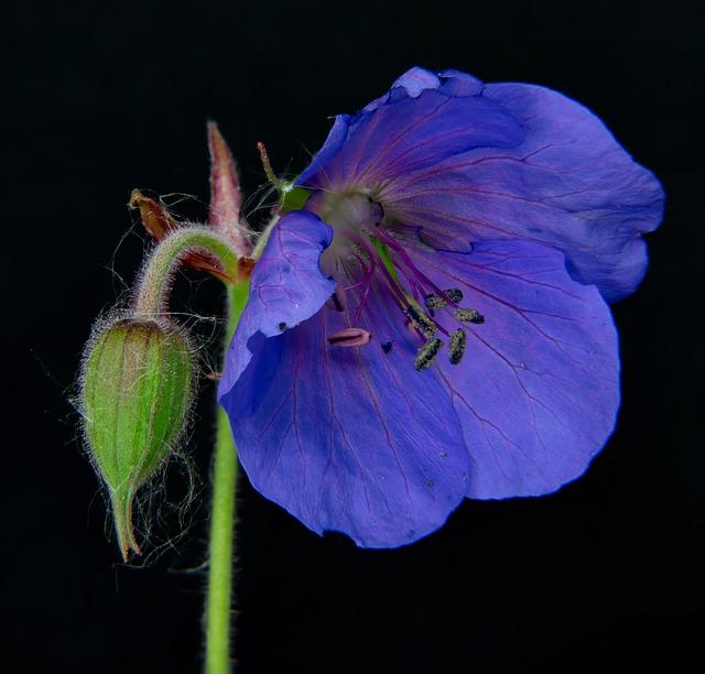 Bodziszek fioletowy
